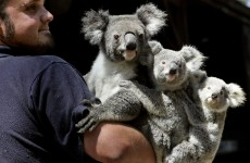 Koalas listed as 'vulnerable' in parts of Australia
