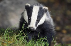 5,000 badgers to be killed as cull begins