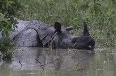South Africa: 50 per cent increase in rhinos poached in 2013