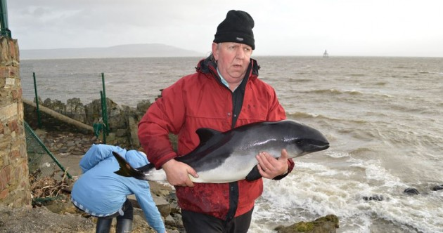 """It's not looking good""… Inishowen locals scramble to refloat weakened baby porpoise [pics]"