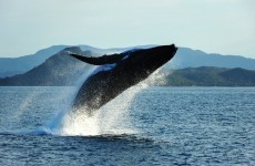 UN court tells Japan to leave the whales alone