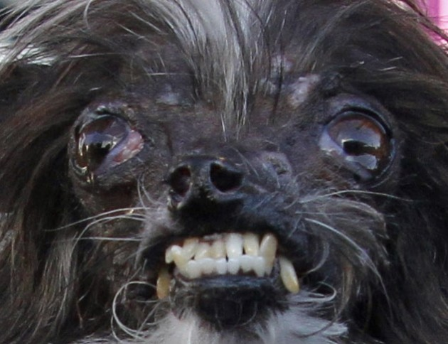 Meet Peanut, officially the ugliest dog in the world · The Daily Edge